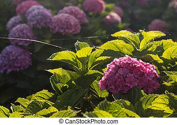 backlit purple hortensia flowers