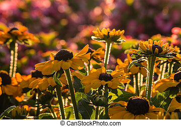 backlit rudbeckia flowers