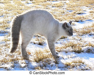 A young Siamese Cat arches his back and his tail fuzzes at the sight of the dog.