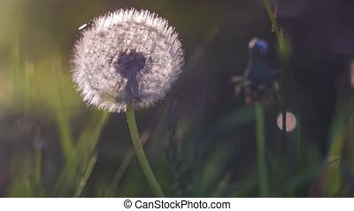 Backlit seed head of dandelion, sunlight flares, nice round bokeh, close up, vintage look