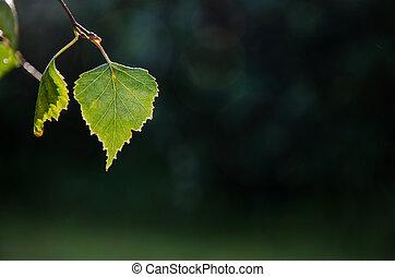 Backlit shiny leaf - Shiny green backlit birch leaf at a...
