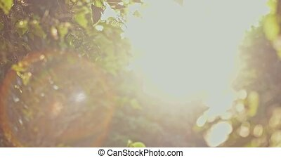 Backlit shot with sun flares of elm tree foliage moving in...