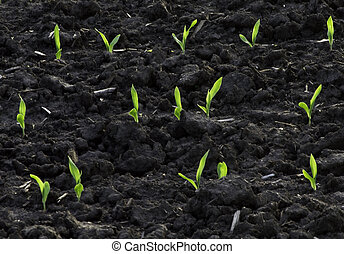Backlit Spring corn seedlings in rich soil. - Bright green...