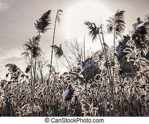 Backlit winter reeds