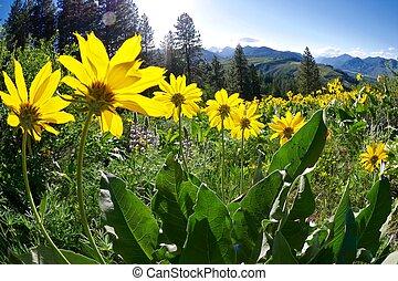 Backlit Yellow Flowers in Alpine Meadows.