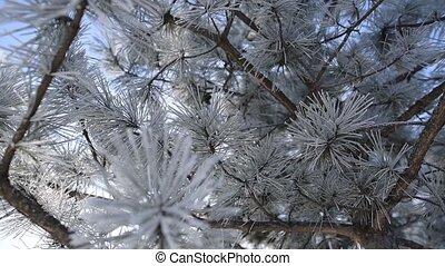 Backround of frozen pine tree, winter day. - Backround of ...