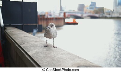 Backward video of a European Herring Gull Standing on a Concrete Barrier and with the River Thames as Background