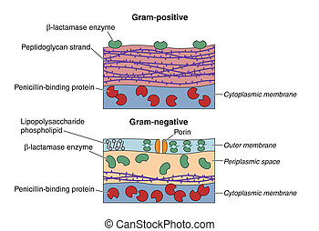 Bacteria - Gram-positive and Gram-negative bacteria