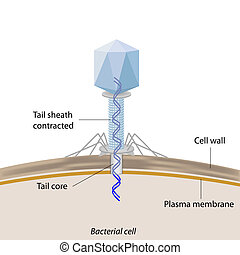 Bacteriophage infecting bacteria - Bacteriophage injecting...