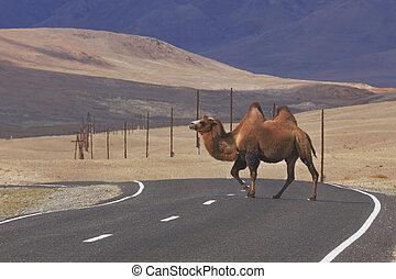 bactrian, überfahrt, kamele, straße