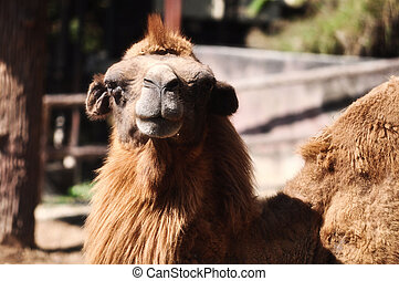 Bactrian Camel - Bactrian camels have two humps rather than ...