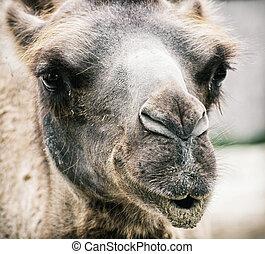 Bactrian camel - Camelus bactrianus - humorous closeup...