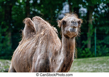 Bactrian camel, Camelus bactrianus in a german zoo - The ...