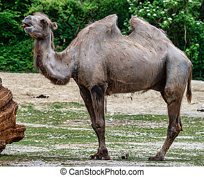 Bactrian camel, Camelus bactrianus in a zoo - The Bactrian ...