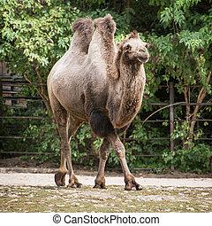 Bactrian camel (Camelus bactrianus) in captivity.