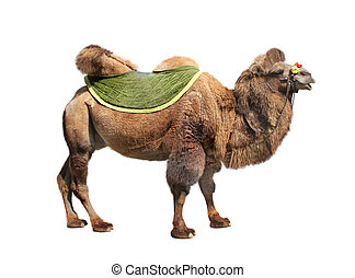 Bactrian camel (Camelus bactrianus). Isolated on white...