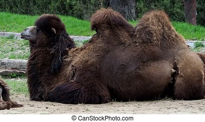 Bactrian camel (Camelus bactrianus) resting on the ground