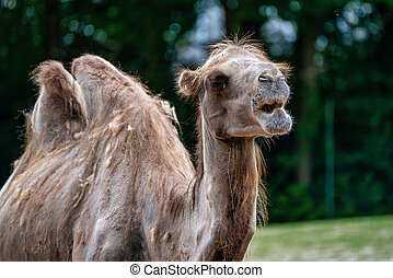 Bactrian camel, Camelus bactrianus - The Bactrian camels, ...