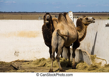 Bactrian camel (Camelus bactrianus) - Two bactrian camels...