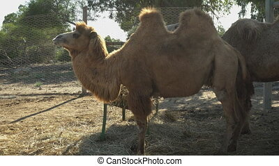Bactrian camel chews hay. Camels in an African zoo under the open sky. Animals outside the will