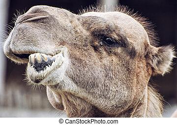 Bactrian camel closeup crazy portrait, animal face -...