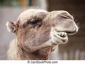 Bactrian camel closeup crazy portrait - Bactrian camel...