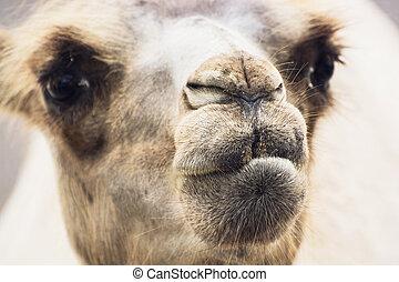 Bactrian camel closeup portrait - Bactrian camel (Camelus...