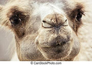 Bactrian camel humorous closeup portrait - Bactrian camel...