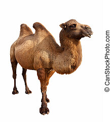 bactrian camel. Isolated on white - Standing bactrian camel...