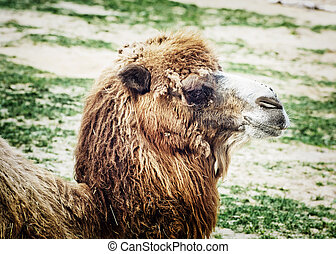 Bactrian camel looking into the camera, animal portrait -...