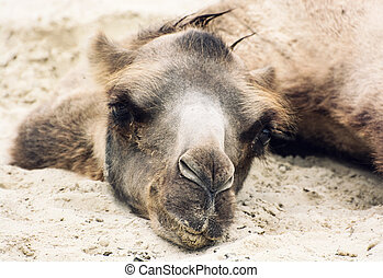 Bactrian camel lying and relaxing in the sand by summer -...