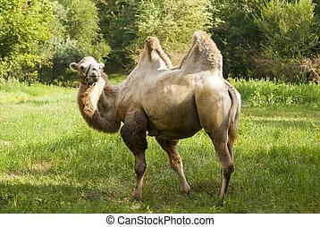 Bactrian camel. Oak grove, Zaporozhye, Ukraine