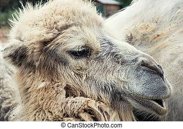 Bactrian camel portrait (Camelus bactrianus). Funny...
