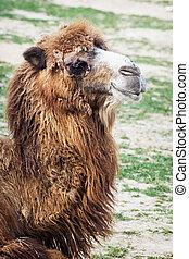 Bactrian camel portrait - Shaggy Bactrian camel (Camelus...