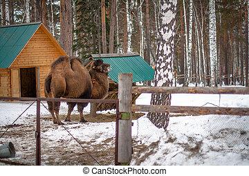 bactrian kamel, in, den, vinter