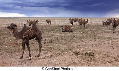 Bactrian young camels or two-humped camels tighten by ropes in the Gobi Desert, Mongolia, 4k