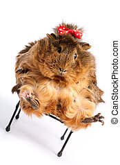 Bad Diet. Funny guinea pig portrait over white background