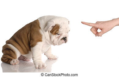 bad dog - persons hand wagging finger at nine week old english bulldog puppy