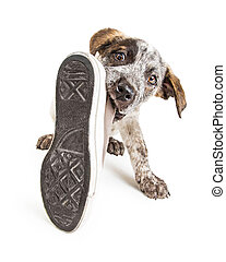 Bad Puppy Dog Stealing Shoe - Funny photo of a naughty young...