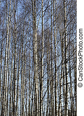 badehose, von, birke bäume, in, fruehjahr, hain