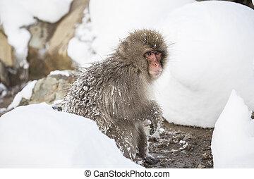 baden, affe, hotspring, jigokudani, onsen, schnee, berühmt, japan., besichtigung