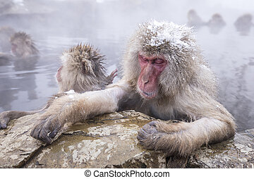 baden, affe, hotspring, jigokudani, onsen, schnee, berühmt,...