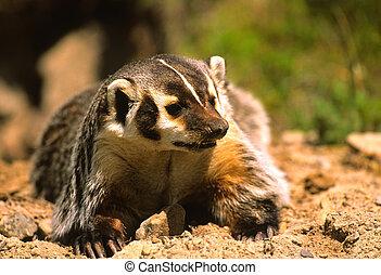 a badger just outside of its den
