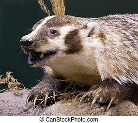 badger portrait close up on a rock ledge