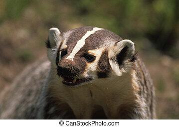 Close-up of a badger