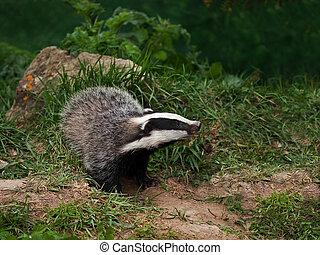Badger Cub watching