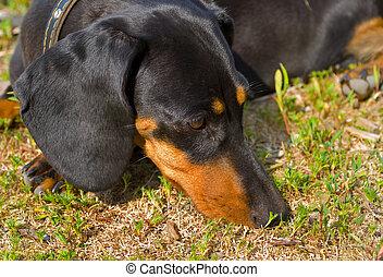 Badger-dog 3