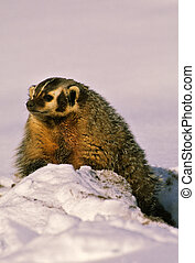 a badger coming out of its snowy den