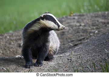 Badger on the set