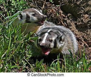 Badger's hiding in grass.